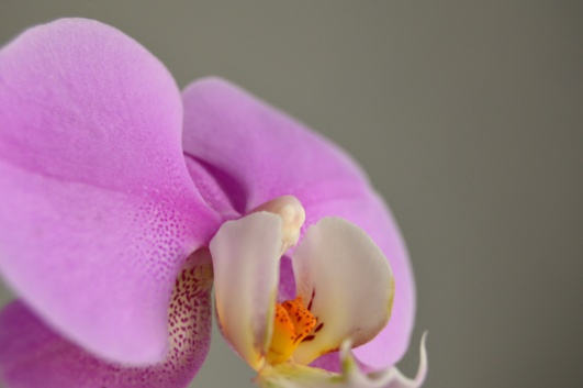 pink orchid 3