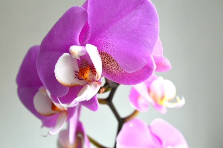 pink orchid 2