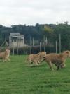 Lionfight